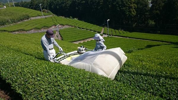 佐京園 2018年新茶始まりました。