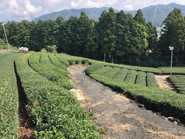 2019年 秋番茶刈り取り開始
